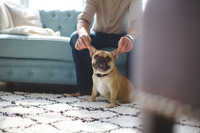 French Bulldog Ears