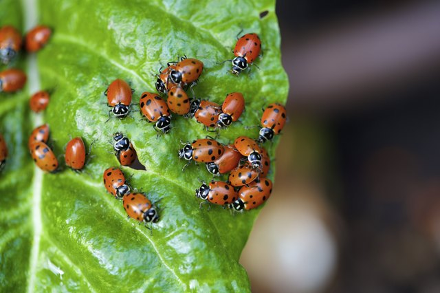 ladybugs on a chard leaf