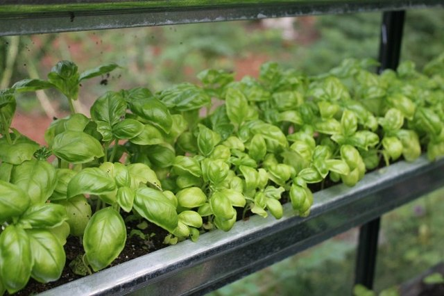 Growing basil in gutters.