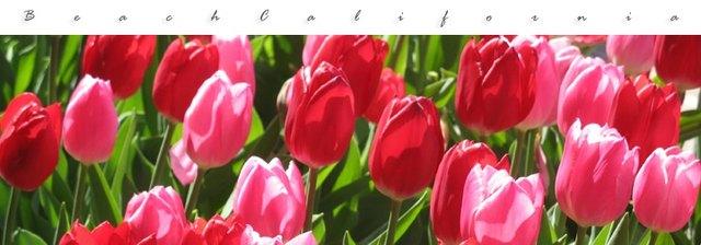 Grow Tulips In Southern California