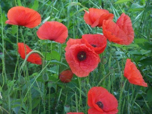How To Grow Poppies In Canada Ehow