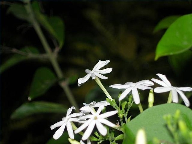 The Life Cycle Of Jasmine Flowers Ehow