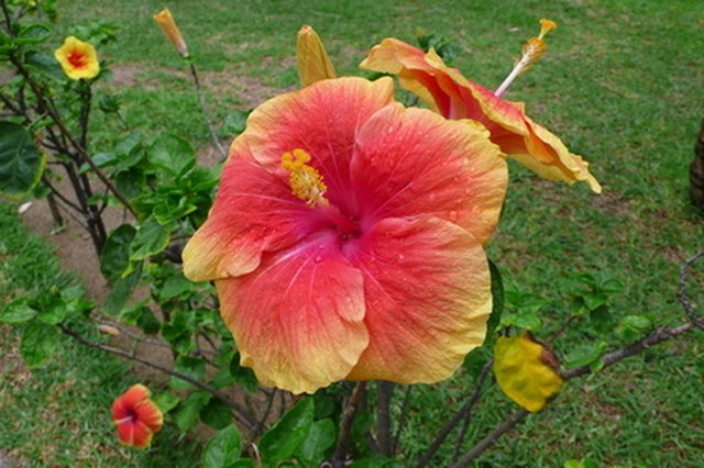 Directions For Tissue Paper Hibiscus Flowers Ehow