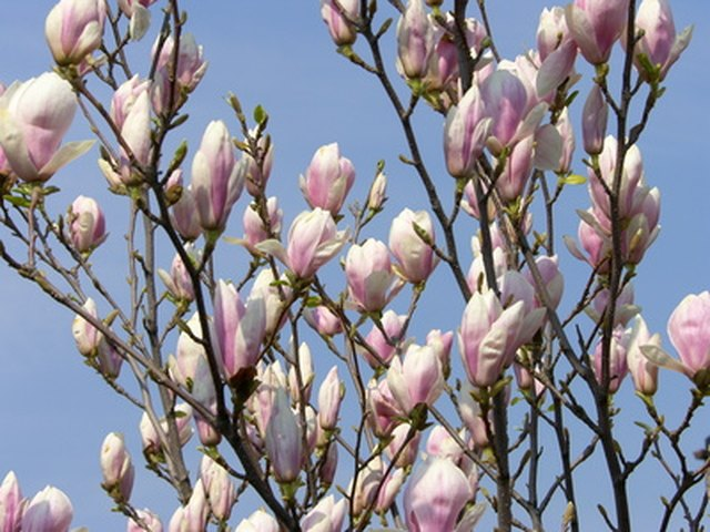 Magnolia Tree Varieties Recommended For Western Washington Ehow