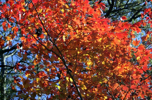 Different Kinds Of Red Maple Trees Ehow