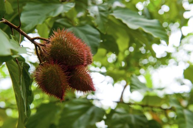 Annatto fruit on a branch.