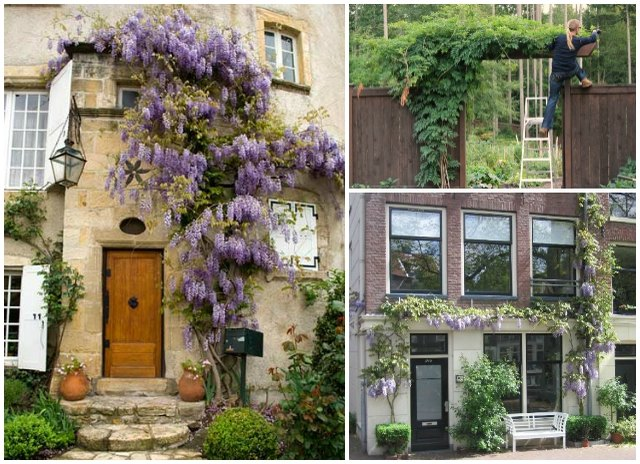 Wisteria will grow and vine in a variety of spaces
