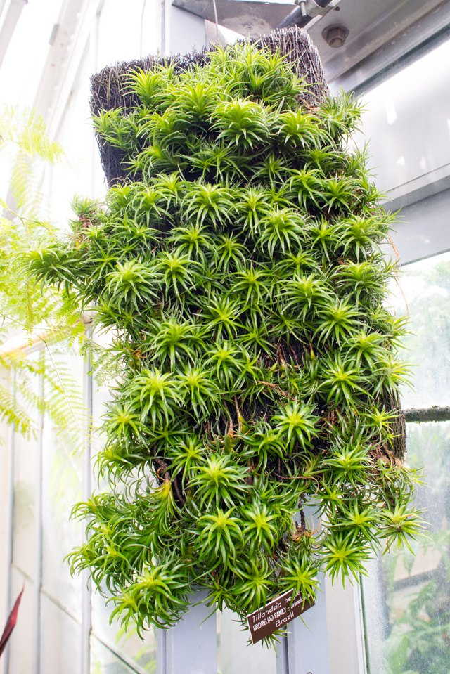 A large cluster of Tillandsia neglecta cling to this board at the US National Botanical Garden in Washington, DC.