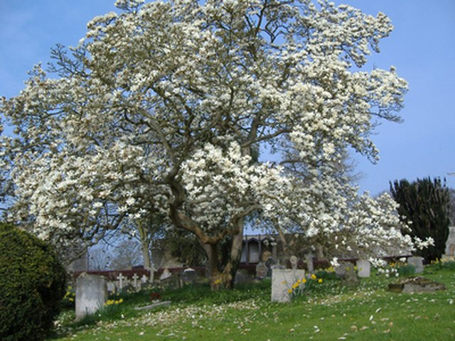 About Magnolia Trees Ehow