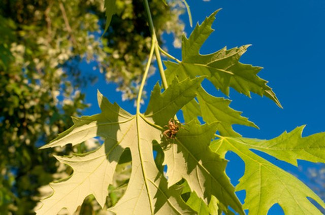 Types Of Sugar Maple Trees Ehow