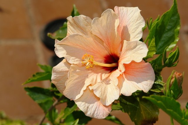 The Differences Between A Rose Of Sharon A Hibiscus Ehow