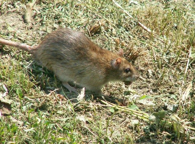 Fluoride in Rat Poison   eHow