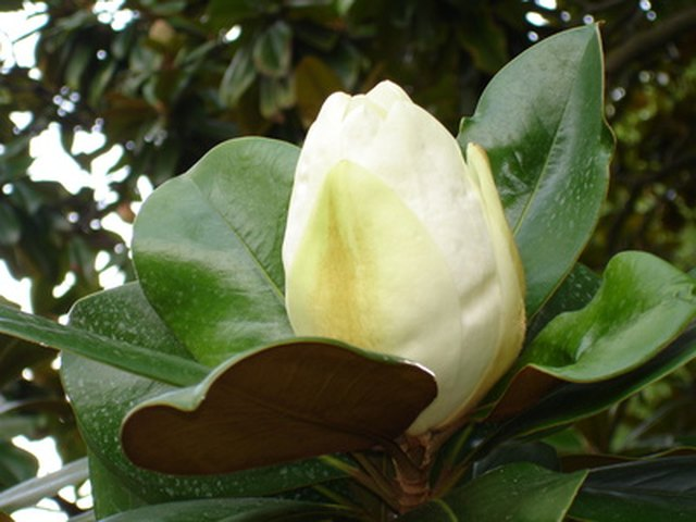 Information On Magnolia Tree Seeds Ehow