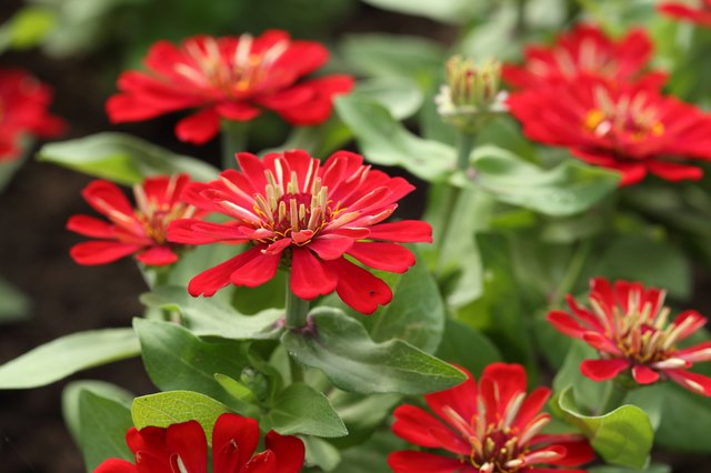 Zinnias are a classic heat-tolerant annual.