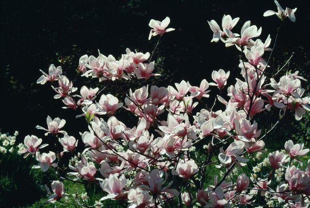 Propagation Of The Little Gem Magnolia Tree Ehow