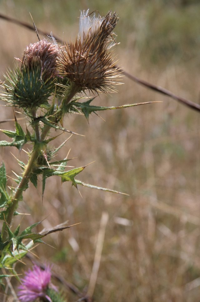 Homemade Solution to Kill Thistles | eHow