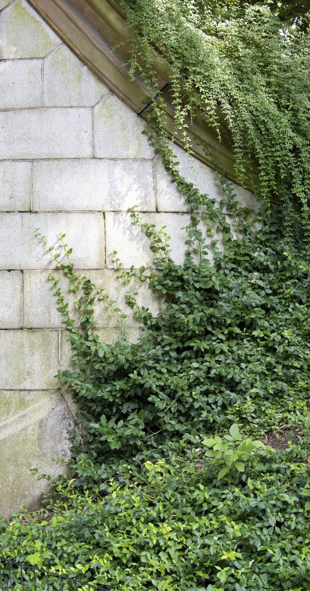 Pachysandra climbs up a concrete wall in the shade.