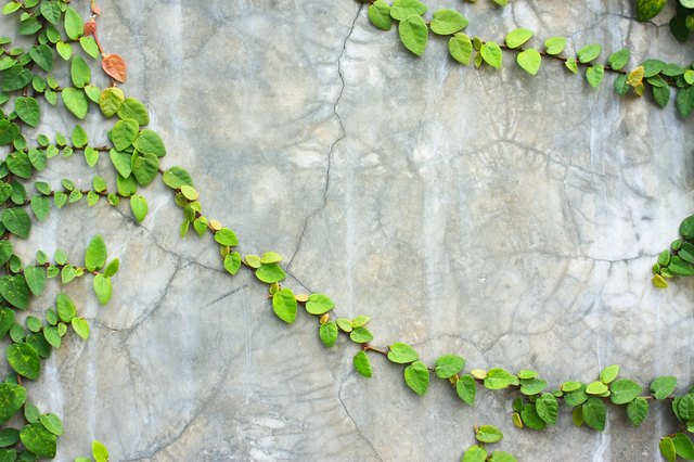 Creeping fig can cling even to masonry or stone.