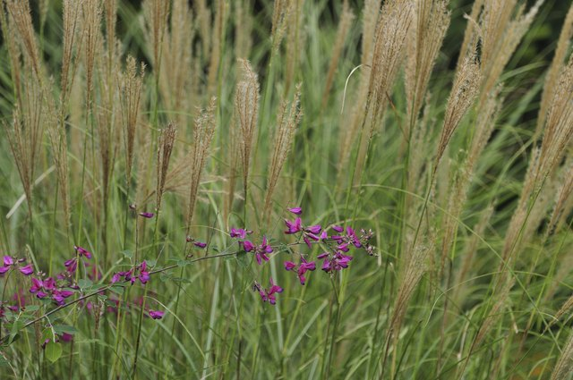 Warm-season grasses must be cut back very early in the growing season.