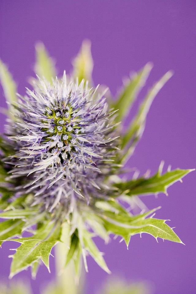 Using Bleach and Vinegar to Kill Thistles | eHow