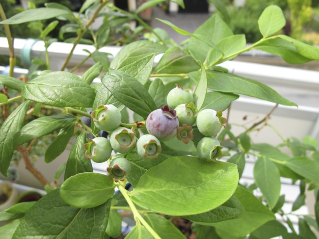 Blueberries bred for containers thrive in balcony spaces.