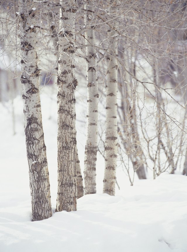 Birch Trees Are Known For Their White Bark And Tall Narrow Stature