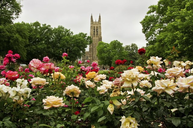 To grow flourishing roses, learn the basics of rose gardening.