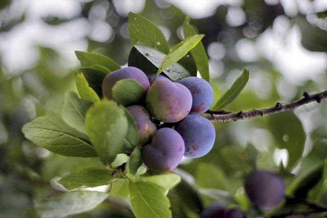 Seeds Harvested From Commercially Grown Plums Might Not Produce Fruit Identical To That The Pa