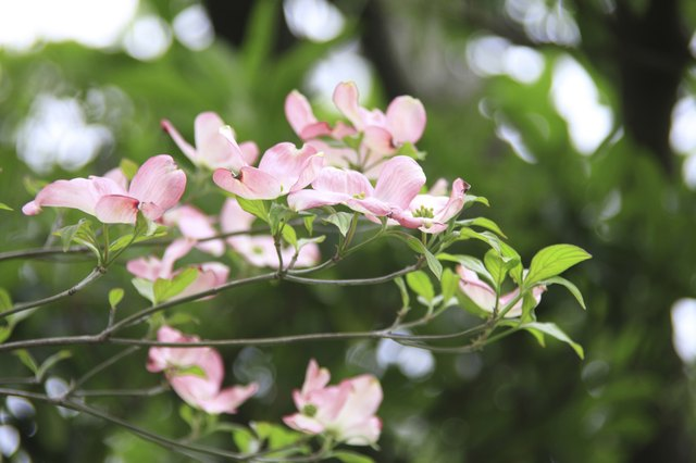 Flowering dogwoods bloom in spring and come in both white and pink colors.