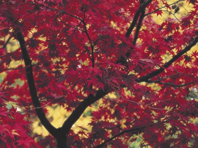 October Glory Maple Vs Autumn Blaze Maple Ehow