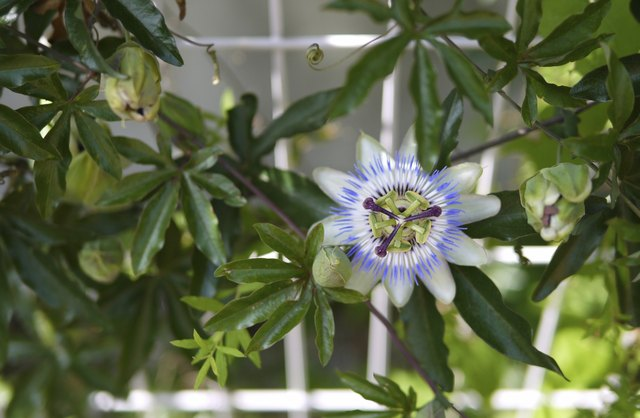 Passion flower spreads on tendril vines.