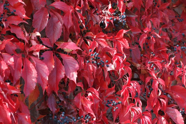 Virginia creeper's fall foliage is striking.