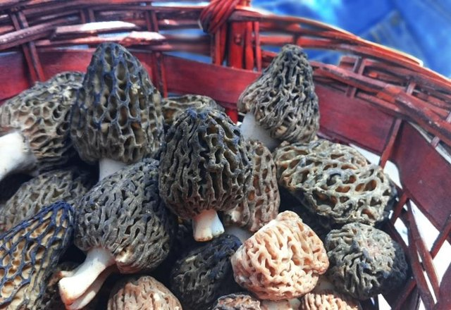 A basket of morel is a treasure.