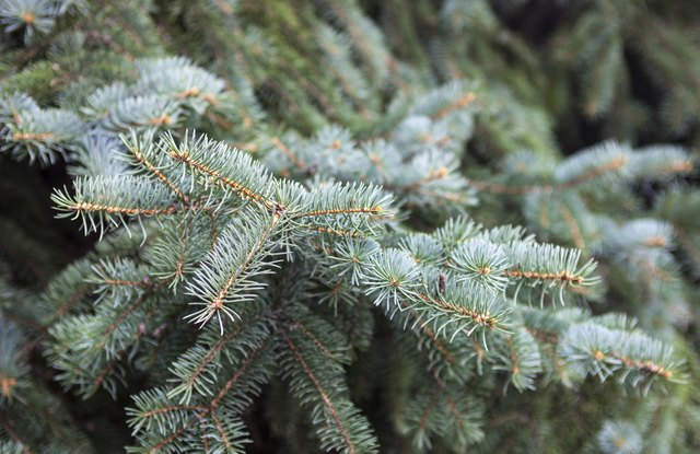 The bluish needles on the Colorado blue spruce remain year round and provide winter interest.