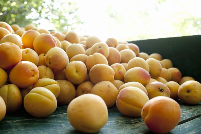 Wheelbarrow full of apricots in farm orchard