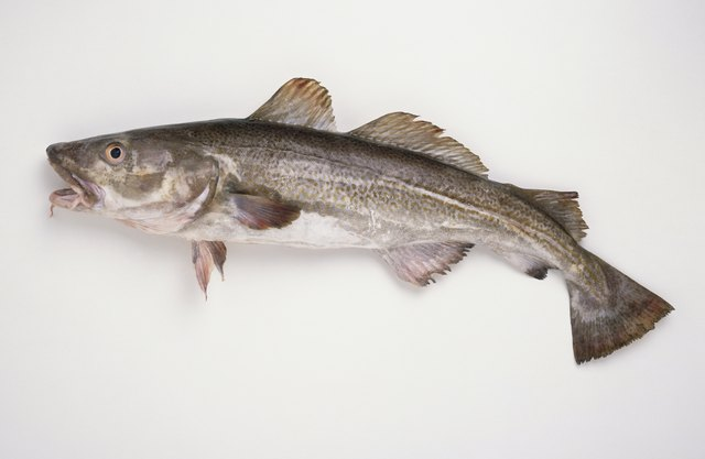 Freshly caught Atlantic Cod (Gadus morhua), side view.