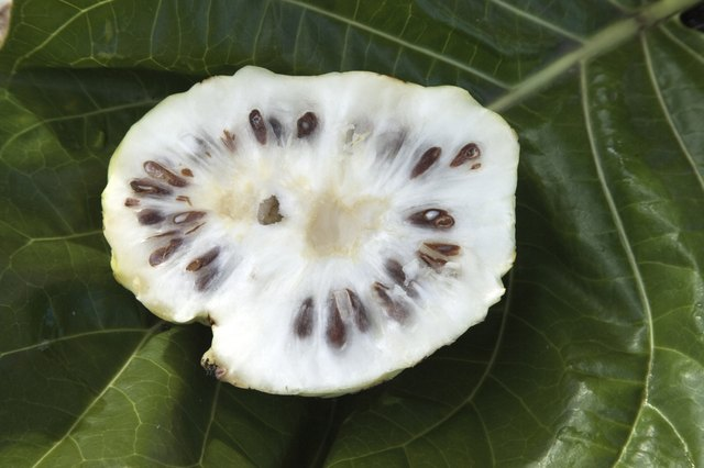 Noni fruit, Hilo, Hawaii, Big Island, USA