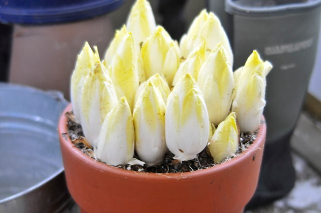 Growing Belgian endive