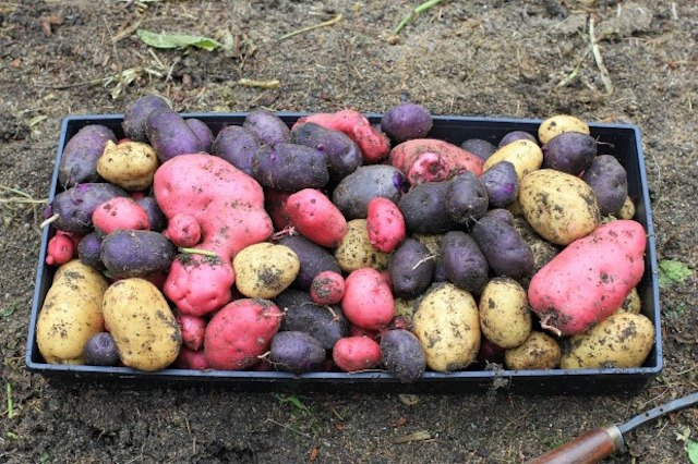 Planting heirloom and fingerling potatoes