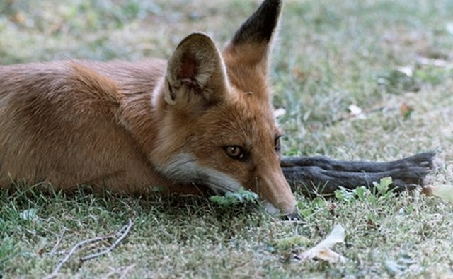 Gray and red fox may be hunted in West Virginia.
