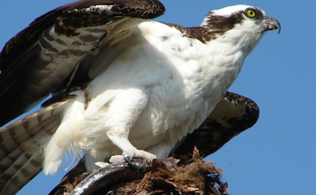 The osprey has the nickname of