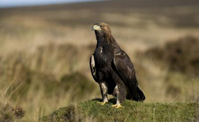 A golden eagle sits on a rock in a praire.