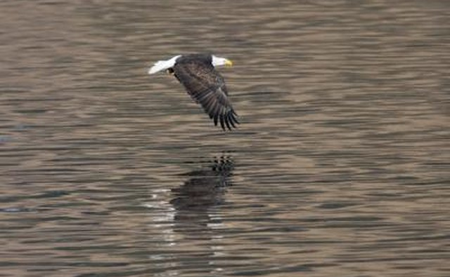 A bald eagle flies low over the water.