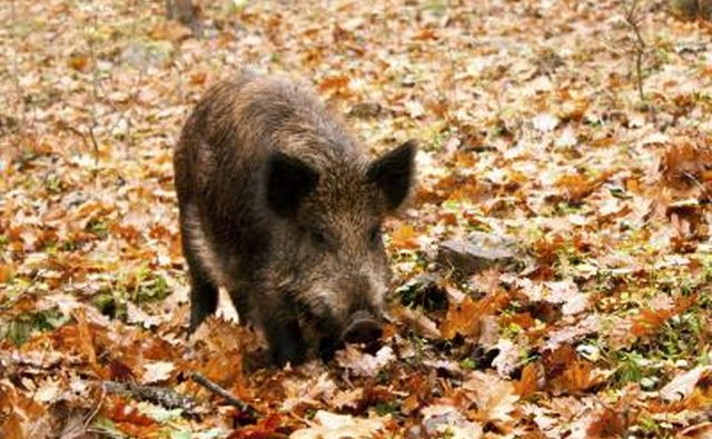 Wild boars carry diseases that can infect livestock, wildlife and people.