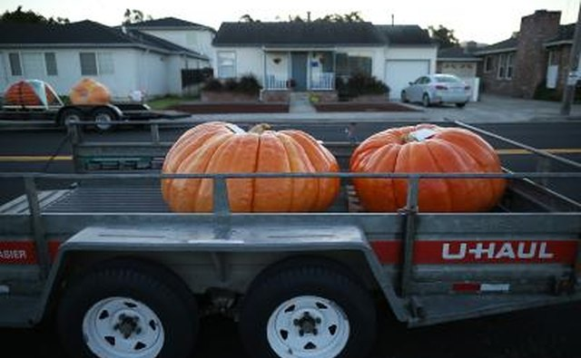 Giant pumpkins on a U-Haul trailer at the World Championship Pumpkin Weigh-Off Contest in Half Moon Bay, CA.