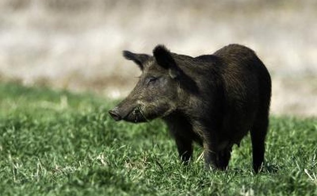 There is no ban on harvesting feral swine encountered in the wild.