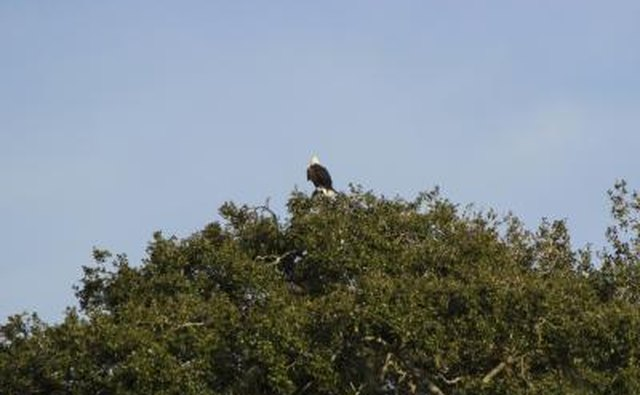 A bald eagle is perched on the top of a tree.