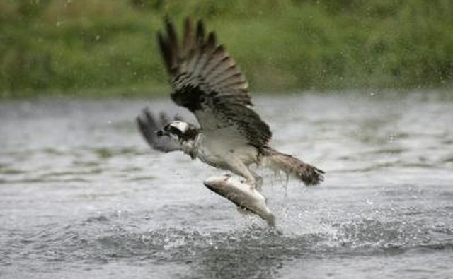 An osprey catches a fish with its talons.