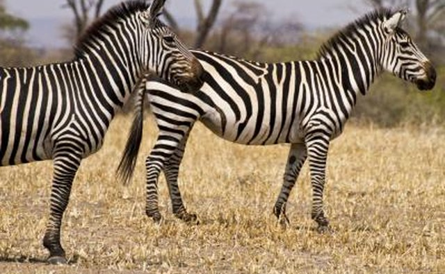 Zebras have horse-like bodies.