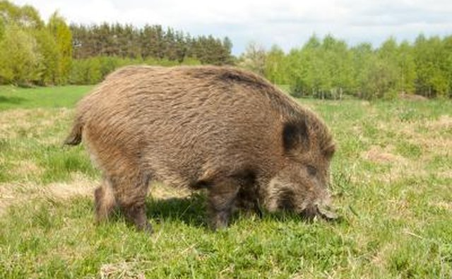There have been many sightings of wild boar in Ohio.